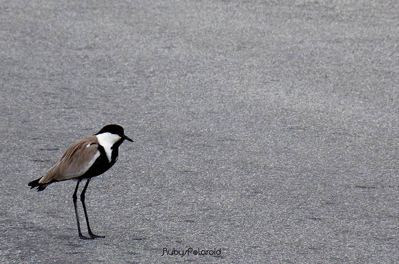 Spur-winged Lapwing 2 by rubys polaroid
