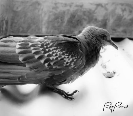 Laughing Pigeon 2 by rubys polaroid